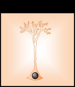 zelula glial radial reactiva