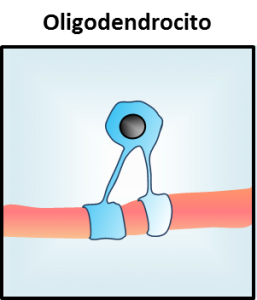 Oligodendrocitos histologia funciones y definicion
