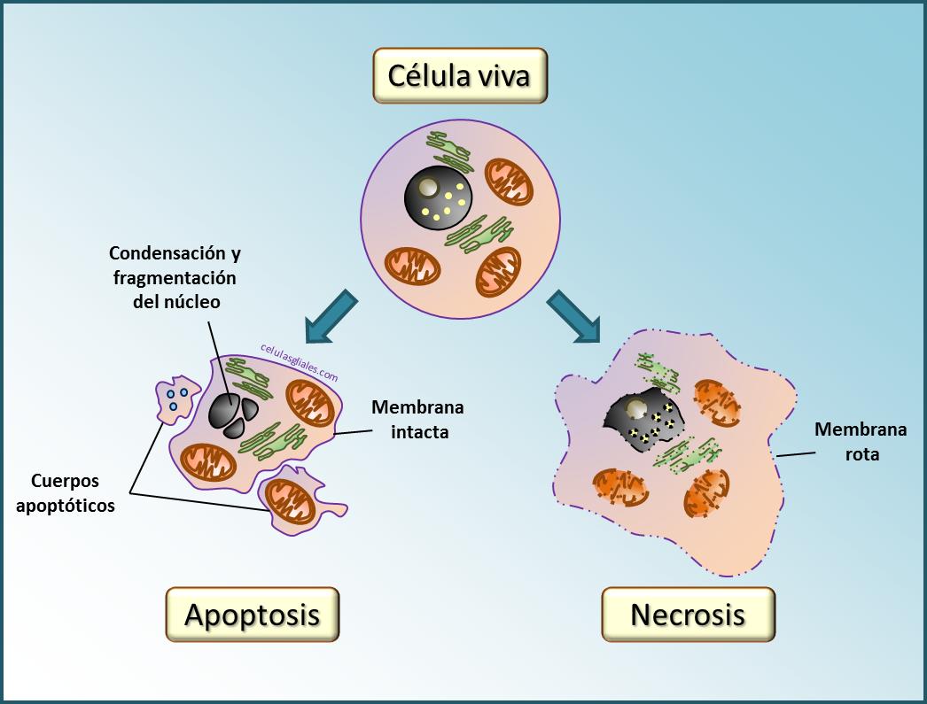 Apoptosis necrosis microglía en muerte celular